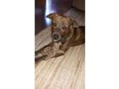 Adopt 5191 Kitty a Pit Bull Terrier