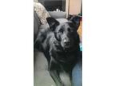 Adopt Homer a Black Border Collie / Labrador Retriever / Mixed dog in Joliet