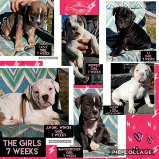 Olde English Bulldogge PUPPY FOR SALE ADN-107751 - Olde English Bulldogge Puppies