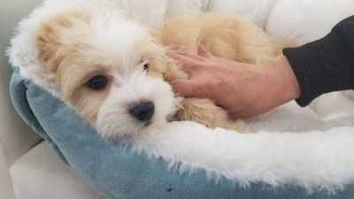 Maltipoo Puppy - Male - Toto ($1,250)