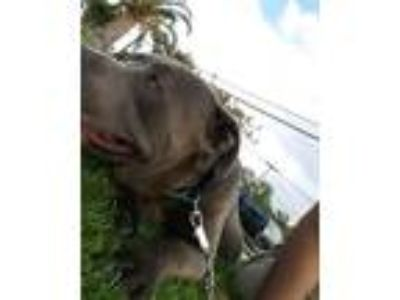 Adopt Jackson a Gray/Silver/Salt & Pepper - with White American Pit Bull Terrier