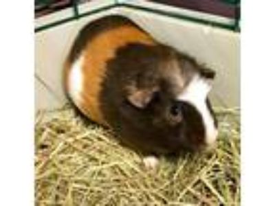 Adopt Cheeseburger a Guinea Pig small animal in Wheaton, IL (25787972)