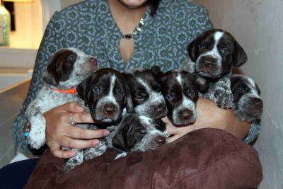 German Shorthaired Pointer Puppy - Male Show