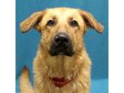 Adopt Bertha a Anatolian Shepherd, Mixed Breed
