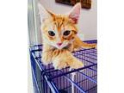 Adopt Tawny a Orange or Red (Mostly) Domestic Shorthair / Mixed (short coat) cat