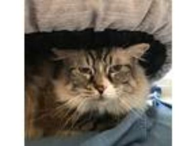 Adopt Fisher a Gray, Blue or Silver Tabby Maine Coon (medium coat) cat in San