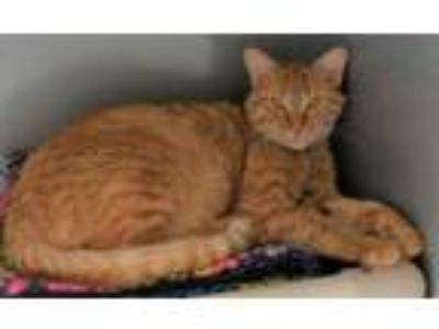 Adopt Arkady a Domestic Short Hair, Tabby