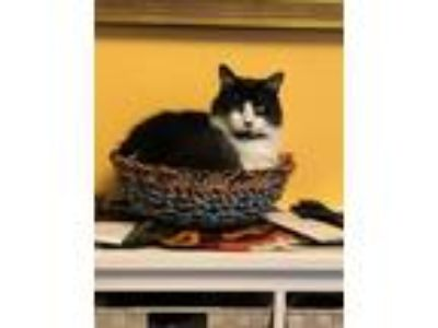 Adopt Eddy a Domestic Medium Hair