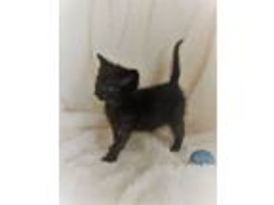 Adopt SQUIGGY a Black (Mostly) Domestic Shorthair (short coat) cat in Iowa Park