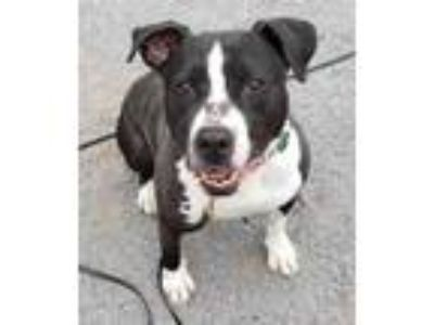Adopt Boston a Black American Pit Bull Terrier / Mixed dog in Spring City