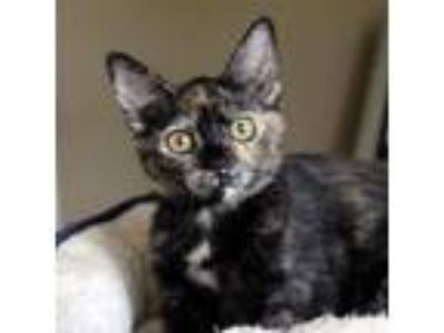 Adopt Karmel a Domestic Short Hair