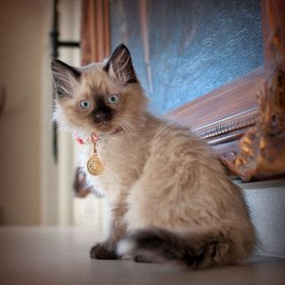 Gorgeous Ragdoll Kittens for Sale!