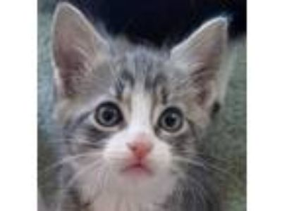 Adopt Xemo a Domestic Short Hair