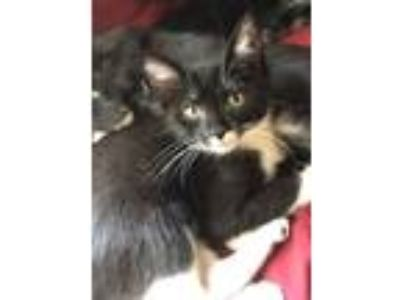 Adopt Oscar a Black & White or Tuxedo Domestic Shorthair (short coat) cat in
