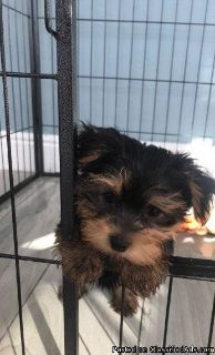 Male Teacup Yorkie For Sale!
