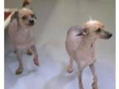 Adopt Monkey a Gray/Blue/Silver/Salt & Pepper Chinese Crested / Mixed dog in