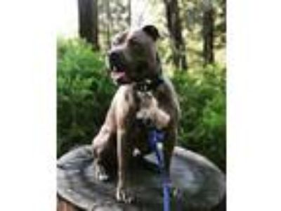 Adopt Ollie a Gray/Blue/Silver/Salt & Pepper Pit Bull Terrier / Mixed dog in