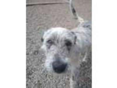 Adopt Spacie a Blue Heeler / Terrier (Unknown Type, Small) dog in Delta