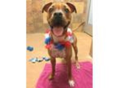 Adopt Koko a Brown/Chocolate Boxer / Mixed dog in Chicago, IL (25329466)