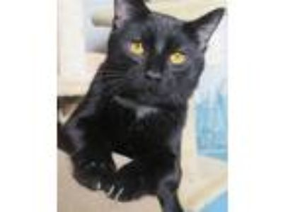 Adopt Majic a Black (Mostly) Domestic Shorthair / Mixed (short coat) cat in