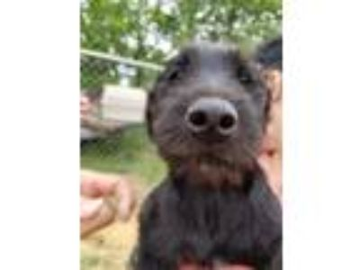 Adopt Arista a Black Airedale Terrier / Labrador Retriever / Mixed dog in Minot