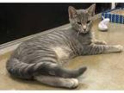 Adopt Lewis a Gray or Blue Domestic Shorthair / Domestic Shorthair / Mixed cat