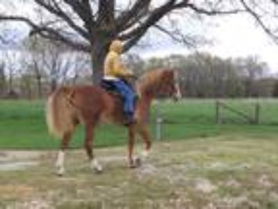 Gaited Horse for Sale
