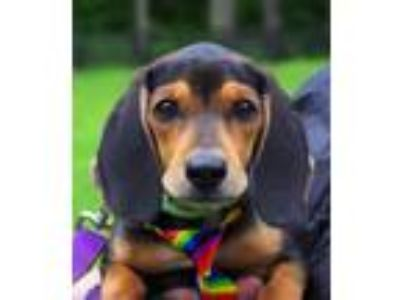 Adopt Beau a Tricolor (Tan/Brown & Black & White) Beagle / Mixed dog in West