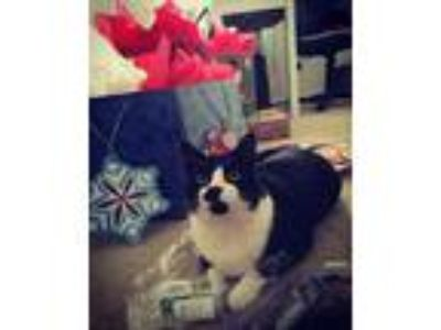 Adopt DOMINO a Black & White or Tuxedo Domestic Shorthair (short coat) cat in