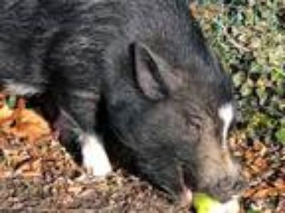 Adopt TURNER a Pig (Potbellied) / Mixed farm-type animal in Brewster