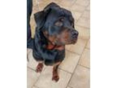 Adopt HENDRICK a Black - with Tan, Yellow or Fawn Rottweiler / Mixed dog in