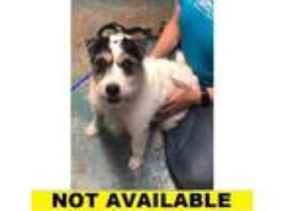 Adopt Verna a White Jack Russell Terrier / Mixed dog in Eugene, OR (25603303)