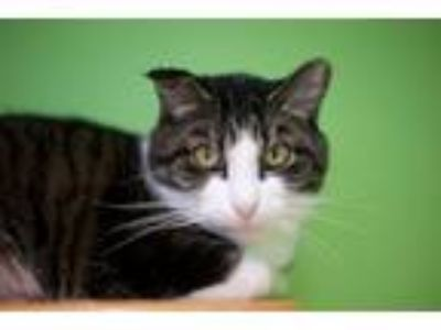 Adopt EJ a Domestic Short Hair