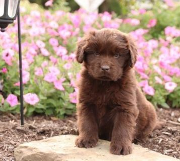 CHRISTMAS Newfoundland Puppies Delivery is possible
