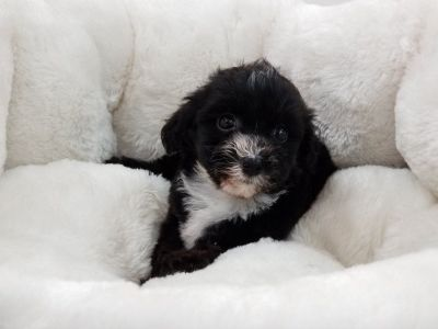 Shipoo Puppy- Female- Tally ($1,250)