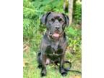 Adopt Norman a Labrador Retriever