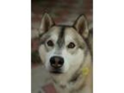 Adopt Dash a Gray/Silver/Salt & Pepper - with White Siberian Husky / Mixed dog