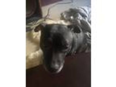 Adopt Roxeanne a Black American Staffordshire Terrier / Mixed dog in Staten