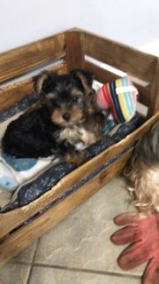 Yorkshire Terrier PUPPY FOR SALE ADN-95854 - CKC Pure Breed Yorkies     North Alabama
