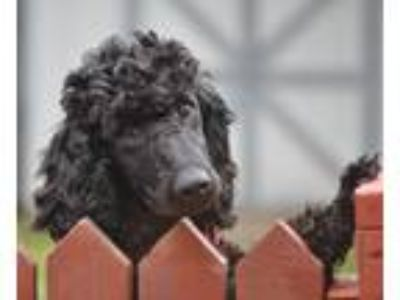 Adopt PIRATE a Black Poodle (Standard) / Mixed dog in Elk River, MN (25185584)