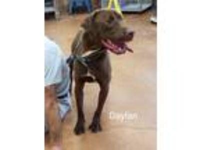 Adopt Daylan a Brown/Chocolate Labrador Retriever / Mixed dog in Heber Springs