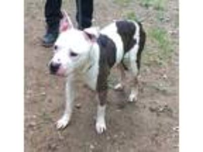 Adopt 387 a White - with Brown or Chocolate Pit Bull Terrier / Mixed dog in