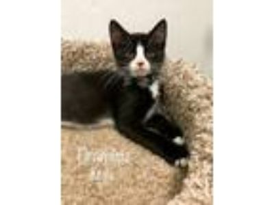 Adopt Tiramisu a Domestic Short Hair