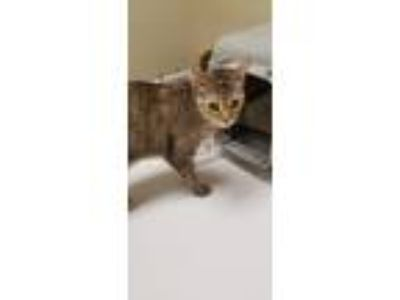 Adopt Sunshine a Tan or Fawn Tabby American Shorthair cat in Belleview
