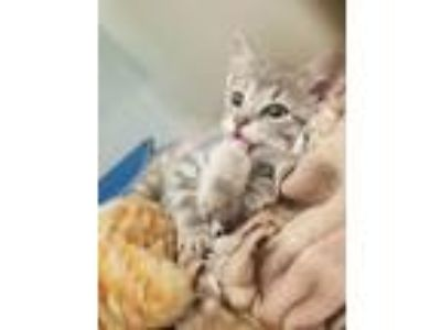 Adopt Peeta a Tabby, Domestic Short Hair
