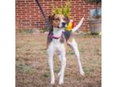 Adopt Princess a Beagle