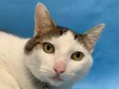 Adopt Chewy a Domestic Short Hair