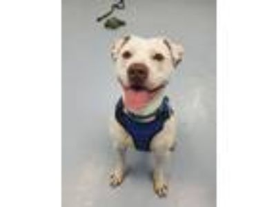 Adopt Oliver (fka Chucky) a Pit Bull Terrier, Dalmatian