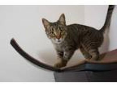 Adopt Nola a Brown Tabby Domestic Shorthair (short coat) cat in Portland