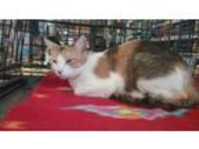Adopt Applewood a Calico, Domestic Short Hair